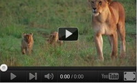 Video feed page - Lion cubs