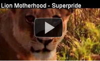 Video feed page - Lions - Motherhood